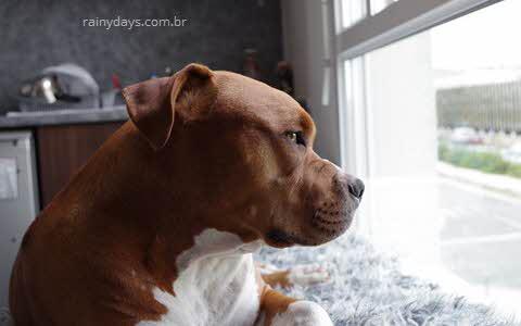 pitbull adulto olhando pela janela
