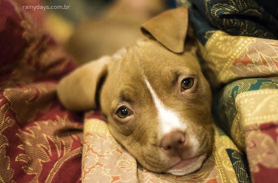 pitbull filhote cachorro
