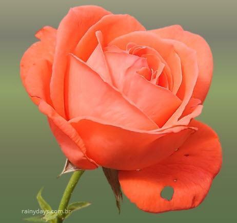 Rosa de Saron o Que é