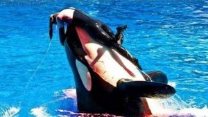 Baleia atacando treinador do Sea World (Vídeos)