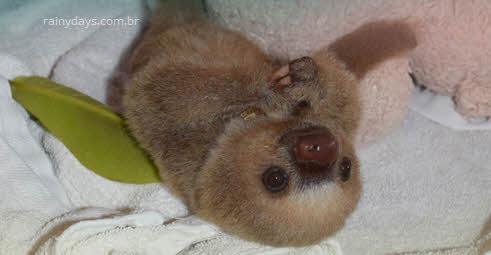 Santuário de bichos preguiça na Costa Rica, vídeos fofinhos
