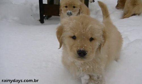 Filhotes de Golden Retriever Brincando na Neve