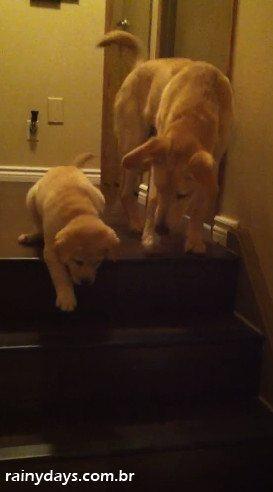 Cachorro Ensina Filhote a Descer Escada
