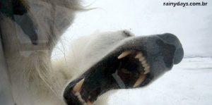 Repórter da BBC Encontra um Urso Polar de Pertinho