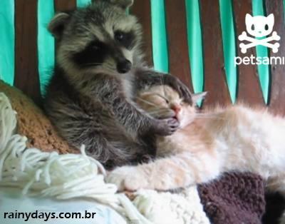 Guaxinim Filhote Agarrando um Gato