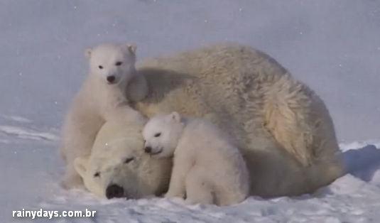 Mamãe Ursa Polar e Filhotes Brincando e Fazendo Carinho
