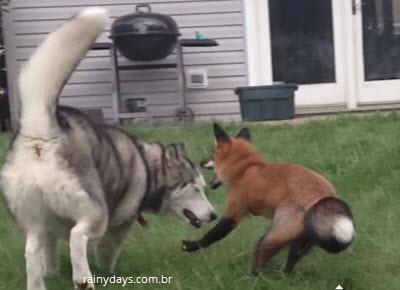 Husky Siberiano Brinca com Amiga Raposa