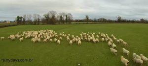Drone conduzindo Ovelhas na Irlanda (Vídeo)