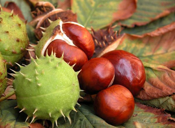 Benefícios da castanha da índia para a saúde