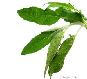 Benefícios do chá de sálvia para saúde